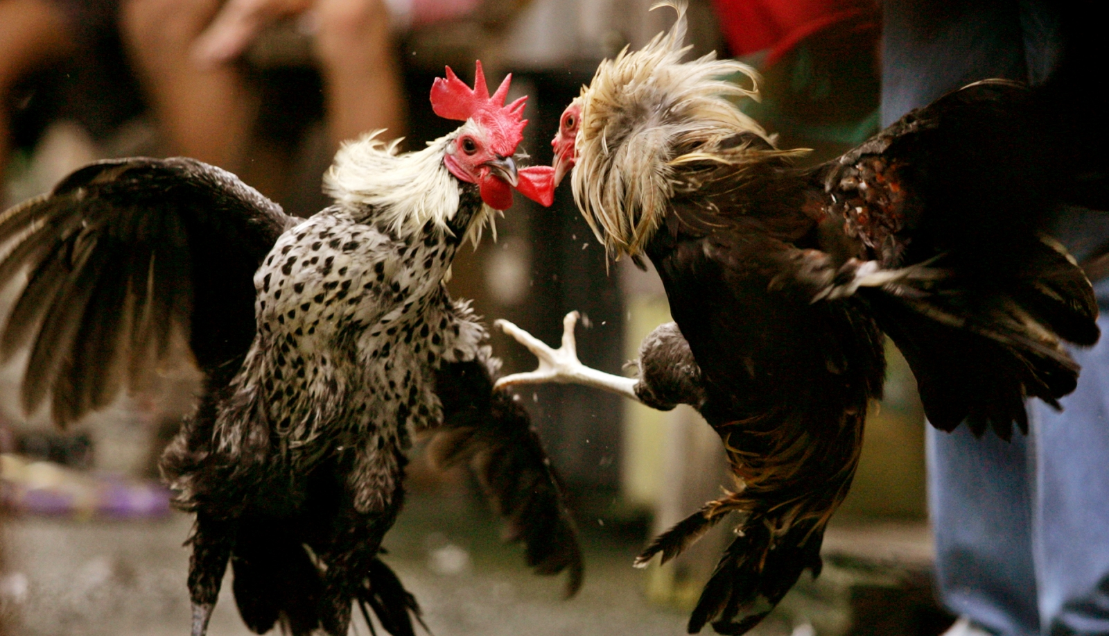 Ketenaran Judi Sabung Ayam Taji Online